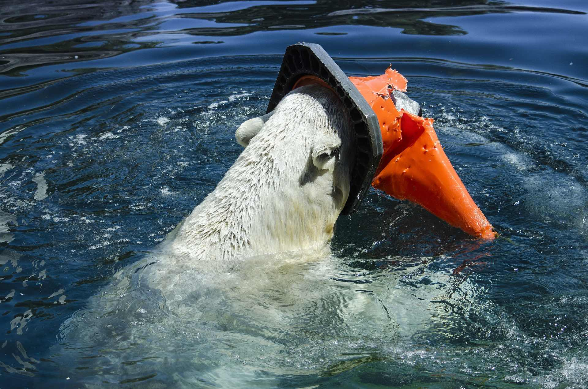 Isbjørn plast forurening